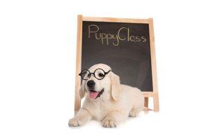Golden Retriever in Puppy Socialization Classes